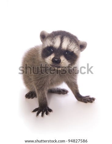 Baby Raccoon isolated on white background