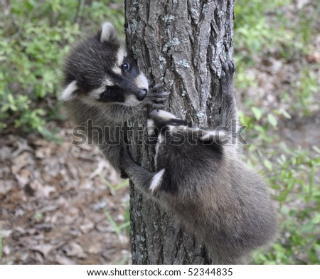 Baby raccoons climbing on tree