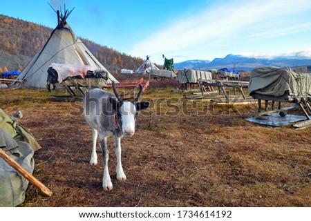 Baby reindeer in the middle of  khanty reindeer herders camp. Polar Ural, Yamalo-Nenets Autonomous Okrug (Yamal), Russia.