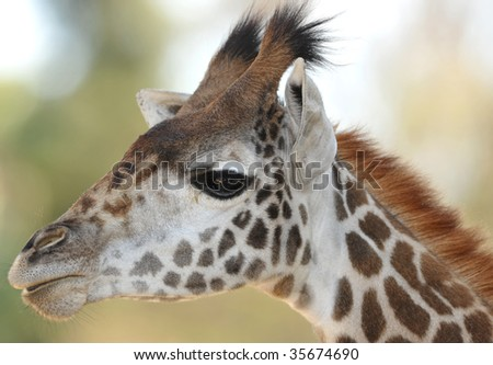 baby reticulated giraffe close up full frame head, namibia, africa