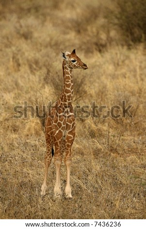 Baby Reticulated Giraffe in Buffalo Springs National Park Kenya Africa