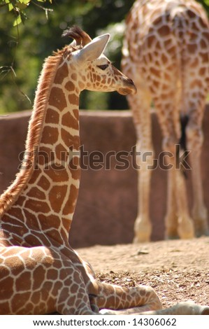 Baby Reticulated Giraffe with Adult