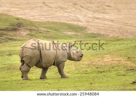 Baby Rhino Walking