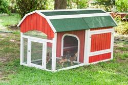 Baby Rhode Island Red chicken about 6 weeks in a chicken coop in a yard