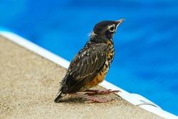 Baby robin bird on edge of pool
