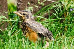 Baby robin bird on ground