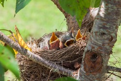Baby Robin birds