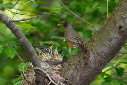 Baby Robins and Parent at nest