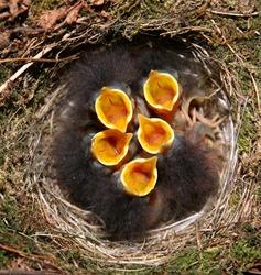 baby robins in birds nest