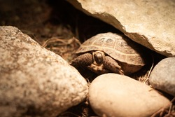 Baby Russian tortoise partially hiding its head and legs in shell close view | Baby steppe tortoise hiding in carapace, among rocks, Tortoise under light bulb