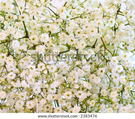 Baby Sbreath Flowers on Baby S Breath Flowers  Close Up  Stock Photo 2383476   Shutterstock