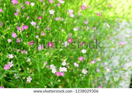 Baby's Breath Pink Creeping - Gypsophila repens rosea baby's breath. Pretty pink flowers