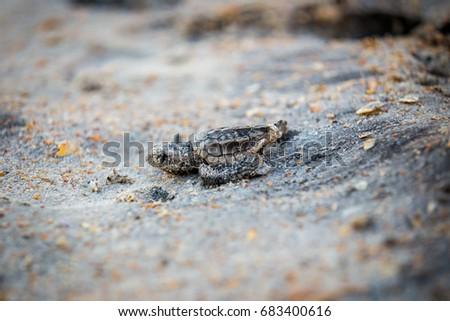 Baby Sea Turtle #683400616