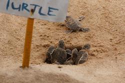 baby sea turtle hatching. One day old sea turtles in Hikkaduwa in the turtle farm.,Sri Lanka tourism . Loggerhead baby sea turtle
