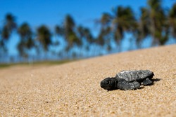 baby sea turtle hatchling newborn at beach facing camera walking to sea after emerging leaving the nest at Bahia coast, Brazil, coconut palm trees. Loggerhead (caretta caretta) specie on the sand