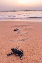 Baby Sea Turtle joining the ocean in Sri Lanka with a sunset