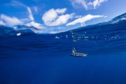Baby sea turtle on blue.