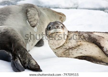 Baby seal close to his mom. Antarctica