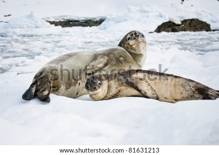 Baby seal close to his mom. Antarctica