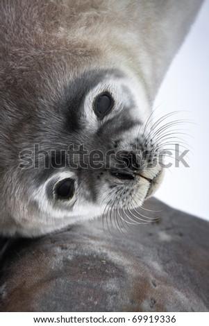 Baby seal close to mom. Antarctica