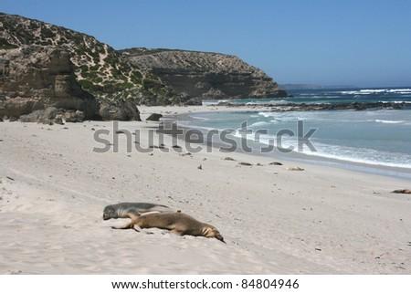 baby seal with his mother on a beach, kangaroo island, adelaide, australia
