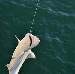 Baby Shark Caught on a fishing line is pulled up by the fisherman in Venice Beach Florida with the hook showing