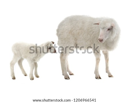 baby sheep and female sheep on a white background