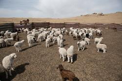 Baby Sheep, Baby Goat, Mongolia