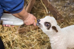 Baby sheep is being fed with cow milk from bottle. Woman is feeding lamb from the bottle.