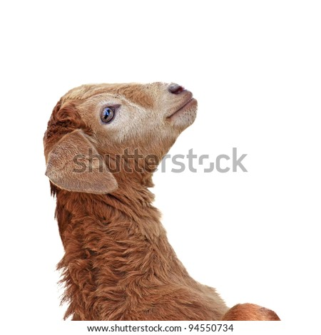 Baby sheep isolated white background