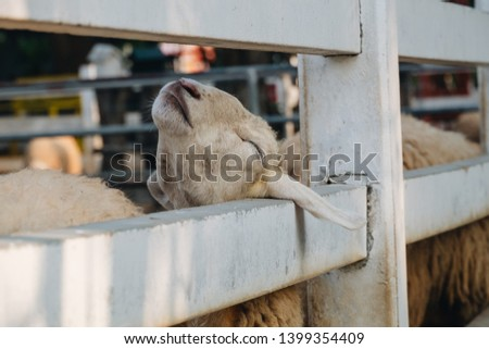 Baby sheep playing funny in farm with blur background #1399354409