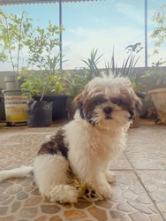 baby shihtzu sitting on the balcony with plants