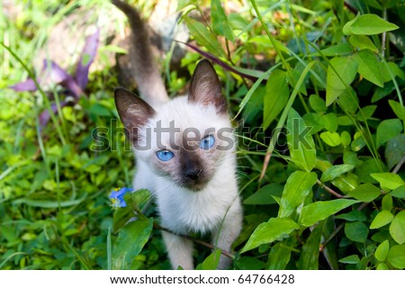 baby siamese cat kitten with blue eyes among green plants