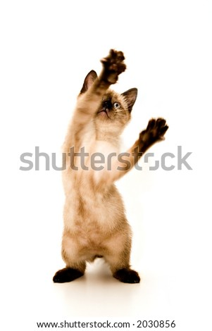 Baby Siamese kitten, playing, on white background.
