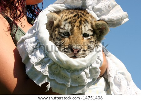 Baby Siberian Tiger Cub in a blanket being held by a young woman.