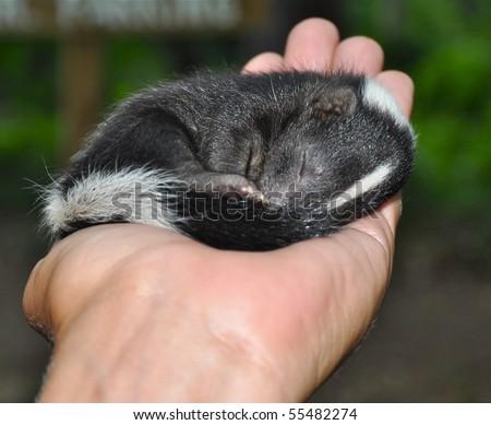Baby Skunk #55482274