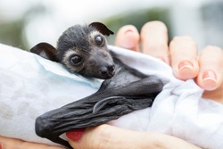 Baby Spectacled  Flying Fox