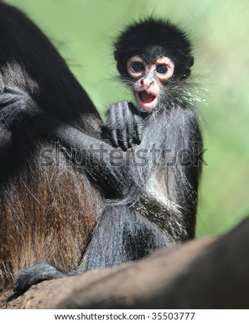 baby spider monkey similar chimpanzee gorilla new world monkey infant child, corcovado, costa rica border with panama, latin america