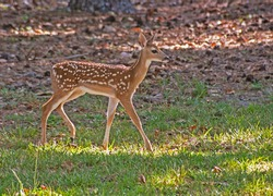 Baby spotted deer walks through the green grass.