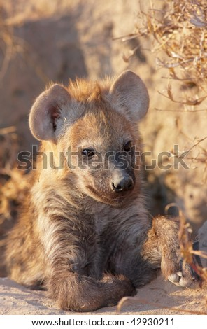Baby Spotted hyaena (Crocuta crocuta) lying on the ground in South Africa