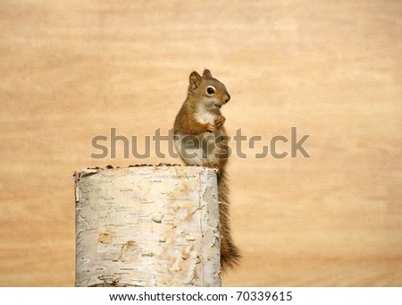 Baby squirrel enjoying sunflower seeds on birch log with copy space.