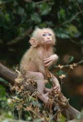 Baby Stump-tailed Macaque in Pala-U National Park, Thailand