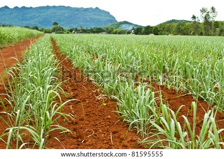Baby sugar cane farmland - stock photo