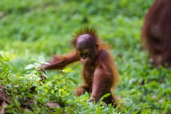 Baby Sumatra Orangutan Exploring The World