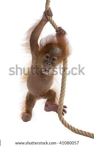 Baby Sumatran Orangutan hanging on rope, 4 months old, in front of white background