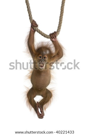 Baby Sumatran Orangutan (4 months old), hanging on a rope, studio shot, in front of a white background