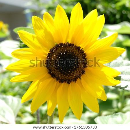 Baby sunflower blossom closeup in Summer Stok fotoğraf ©