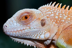 Baby super red iguana closeup on branch with natural background, super red iguana closeup, reptil closeup