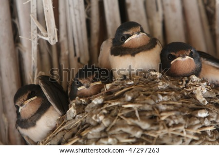 baby swallows in a nest, closeup