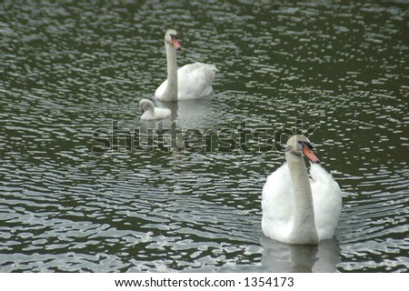Baby Swan With Parents